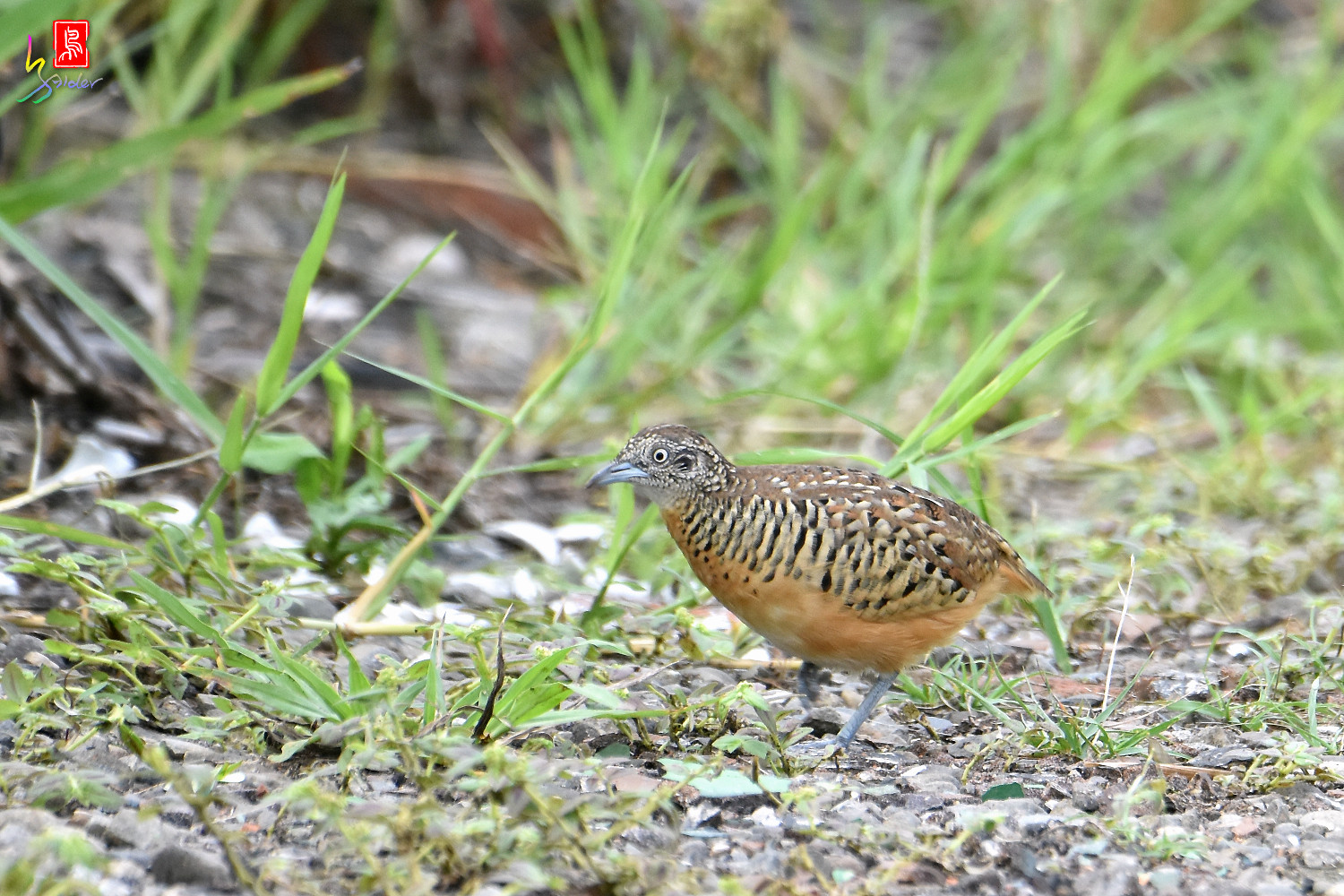Barred_Buttonquail_2269
