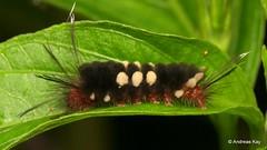Tiger moth caterpillar, Erebidae: Arctiinae