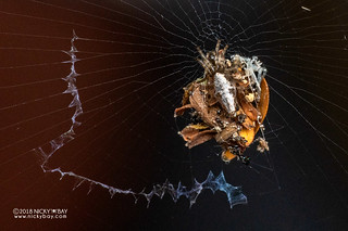 Trashline orb weaver (Cyclosa sp.) - DSC_2746