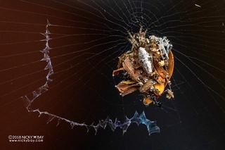 Trashline orb weaver (Cyclosa sp.) - DSC_2746
