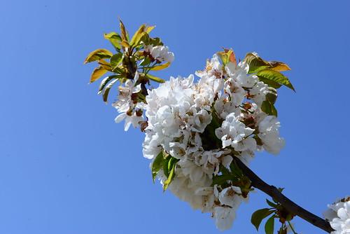 DAV_0661 Cerezo en flor