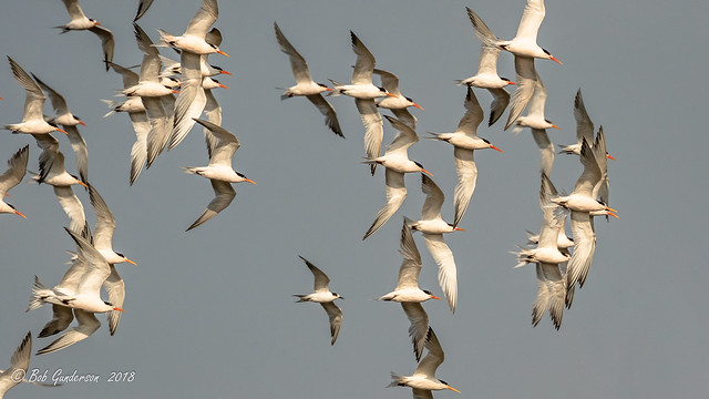 Elegant Terns and one Common Tern