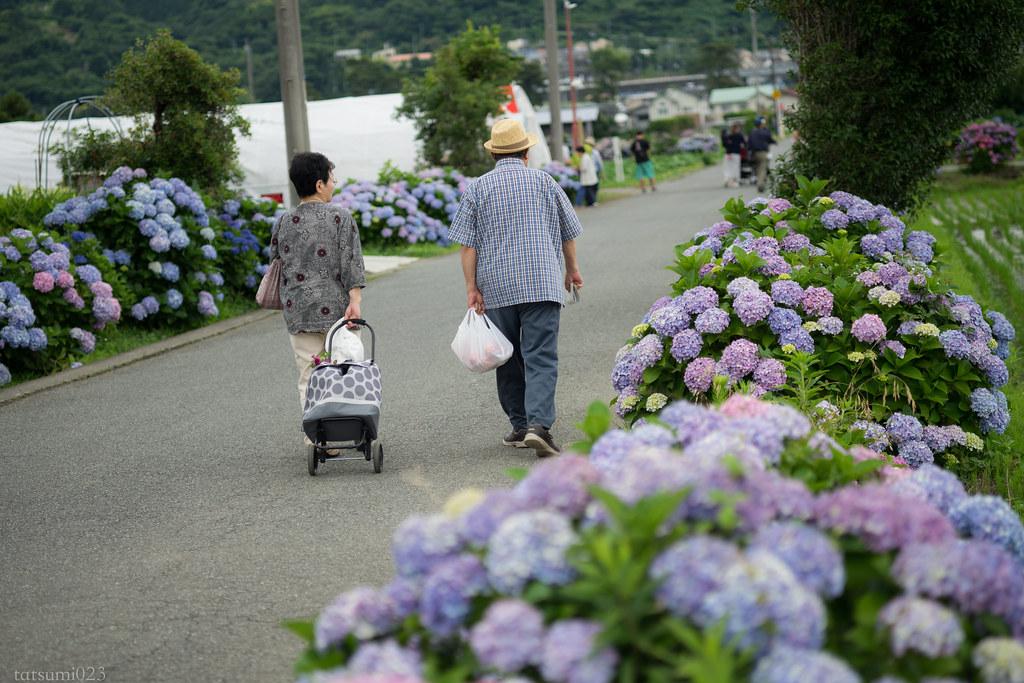 2018-06-16 開成町の紫陽花 007-4
