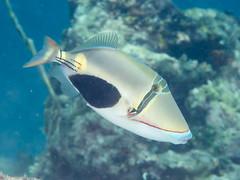 Blackpatch triggerfish (Rhinecanthus verrucosus)