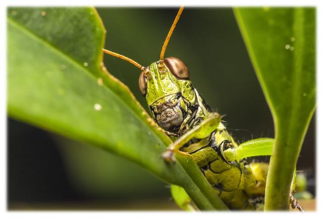瘤喉蝗 Parapodisma sp.