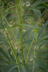 Flowering Cannabis sativa