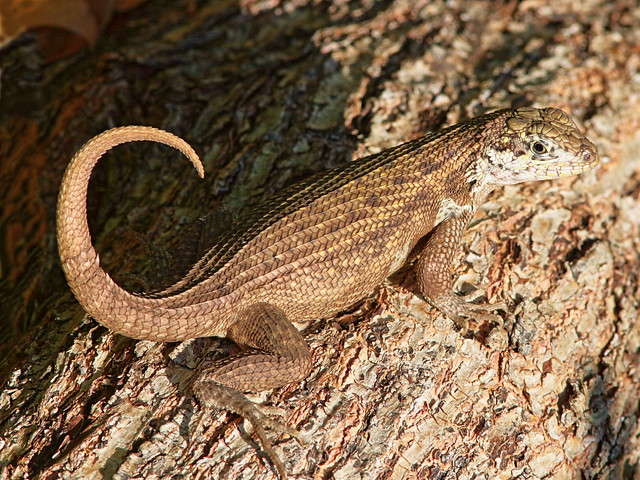 Curly-tailed Lizard 01-20180715