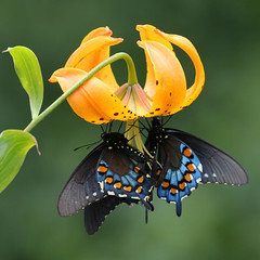 Pipevine Swallowtails on Lilium superbum, Blue Ridge Parkway, NC