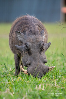 Warthog (Phacochoerus africanus) - DSC_3762