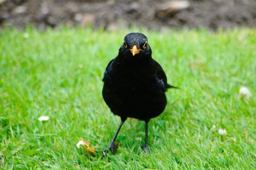 Male blackbird on ground, Castle Grounds, Bridgnorth