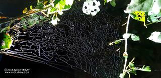 Comb-footed spider's web (Tidarren sp.) - 20180525_221243x