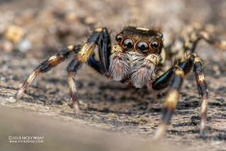 Jumping spider (Salticidae) - DSC_2770