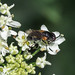Hoverfly sp. - Chrysogaster cemiteriorum