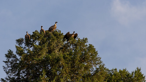 vultures on trees