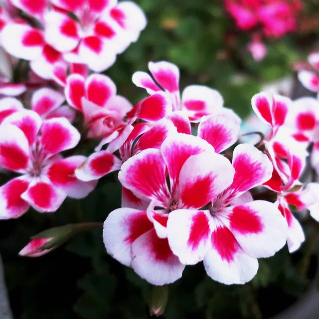 pink white geranium 2018