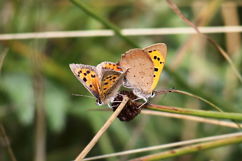 Pair of Small Copper