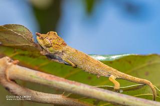 Nose-horned chameleon (Calumma nasutum) - DSC_7054