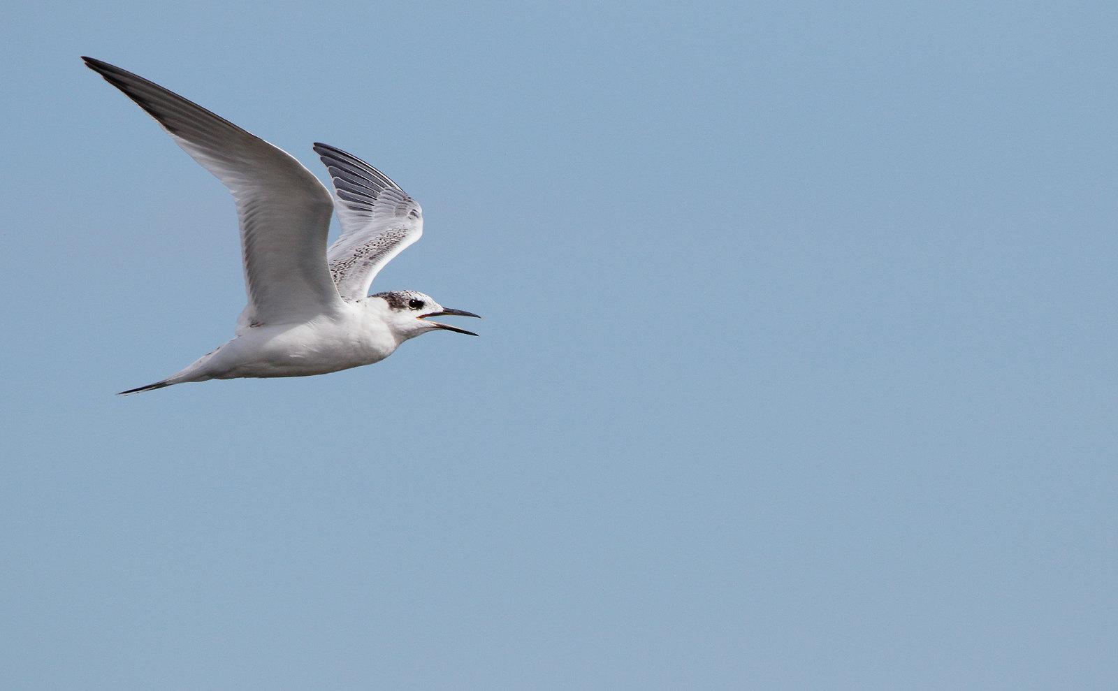 Juvenile Sandwich Tern