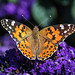 Painted Lady (2)