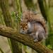 31 Squirrel