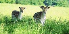 Two Bucks in Long Grass