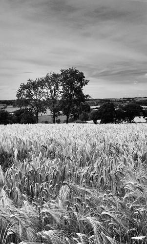 Wheatfields (buckaroos70)