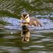 Duckling Silverdale RSPB F00314 D210bob DSC_1714