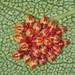 Birch Shieldbug Early Instar Nymphs