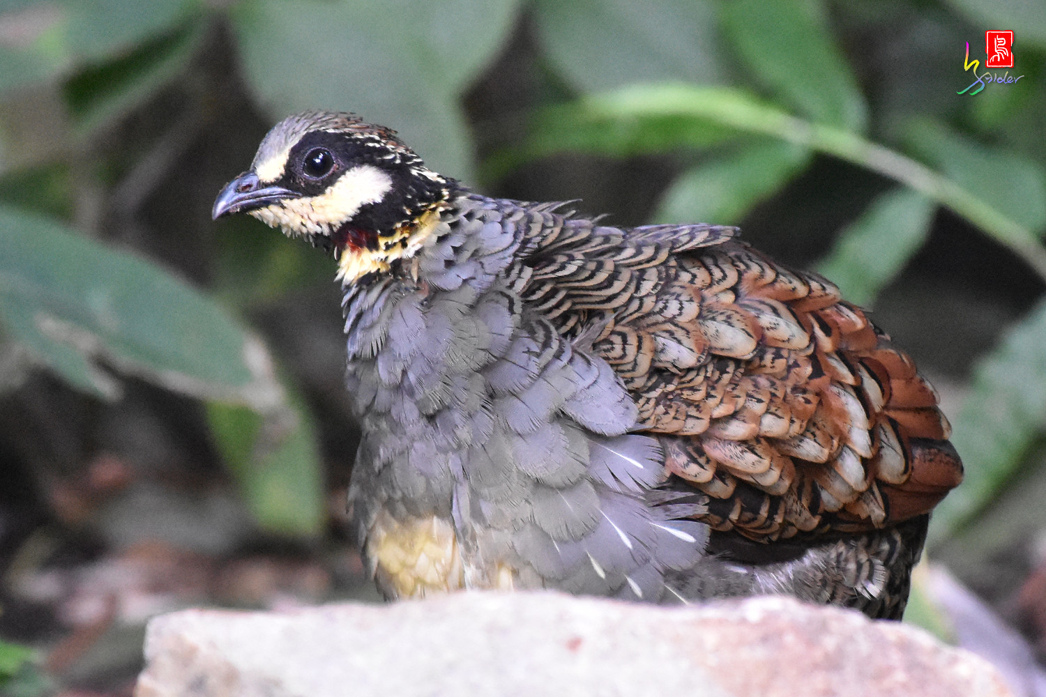 Taiwan_Hill_Partridge_5128