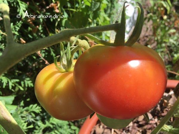 tomatos1