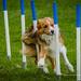 Dog Agility Show - Shrewsbury