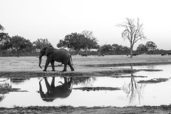 African elephant at twilight.
