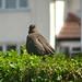 Blackbird, 2018 Jul 19 -- photo 1