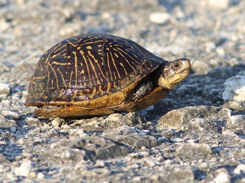 Florida Box Turtle 02-20180621