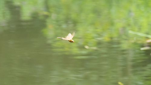 Brown hawker on patrol