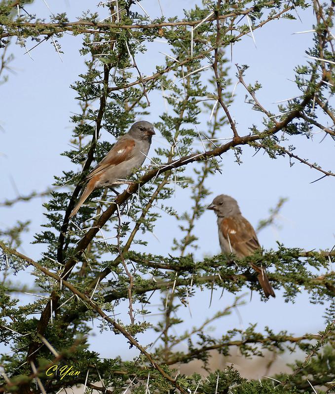 Kenya-Tanzania (Bird 1)