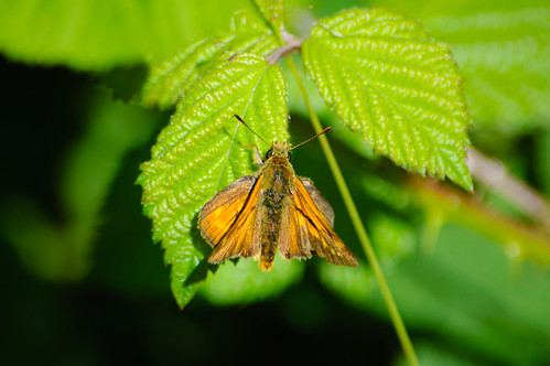 Large skipper butterfly on bramble leaf