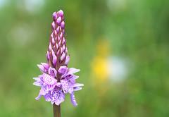 Langdale Orchid