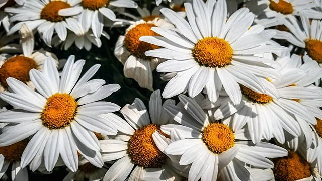 🌼 #daisies #flowersofinstagram #flowerphotography . You will never be able to escape from your heart. So it's better to listen to what it has to say. — Paulo Coelho . . . . . . . . . . . . . . . . . . . . . #yycparks #flowers #flowermagic #flowerl