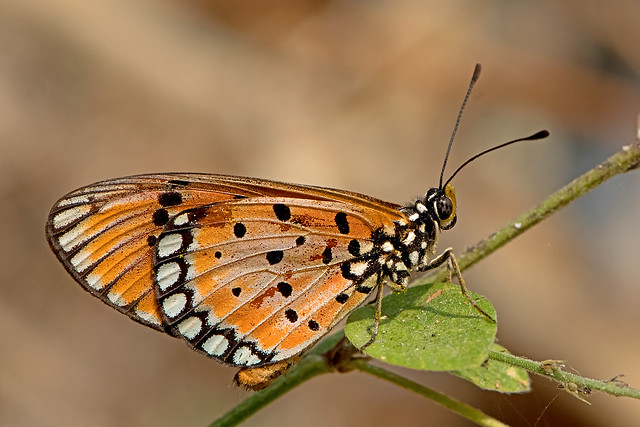 Acraea terpsicore - the Tawny Coster