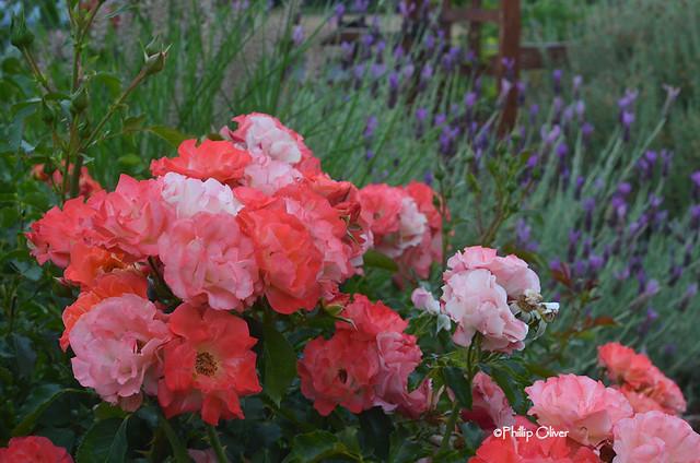 rose-coral-cove