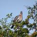 Woodpigeon, 2018 Jul 25 -- photo 2