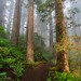 Misty redwood forest path