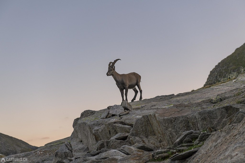 Ibex on the Rocks - Cadlimo