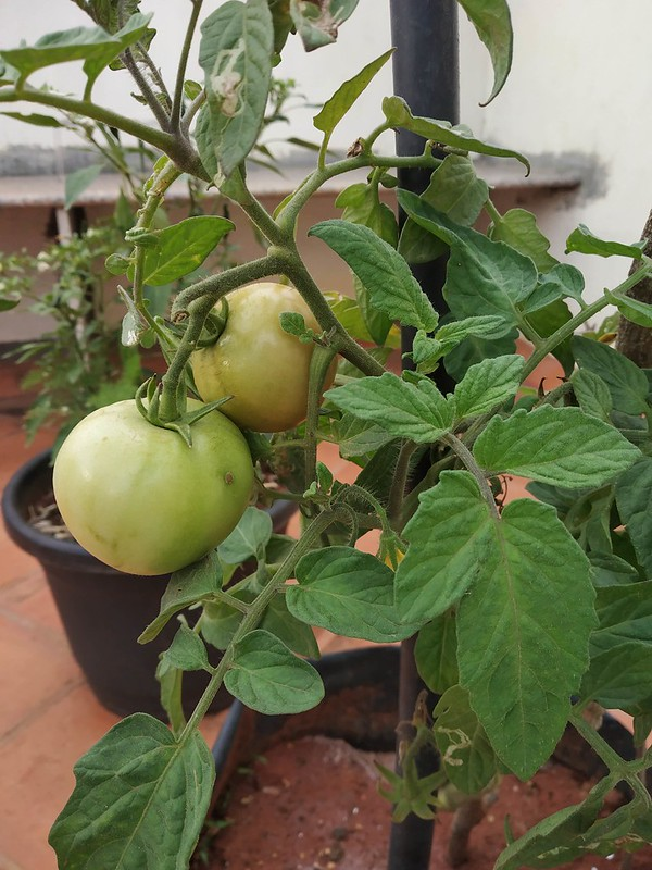 how to get bigger tomatoes