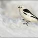 Snow Bunting (Plectrophenax nivalis) by Glenn Bartley - www.glennbartley.com