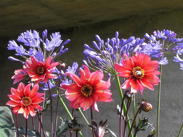 Agapanthus 'Big Blue' & Dahlia 'Walzing Mathilda'