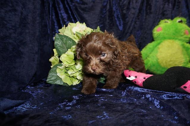 2 Tipi (Coco) 1.12 lb 7 Weeks old  (17)