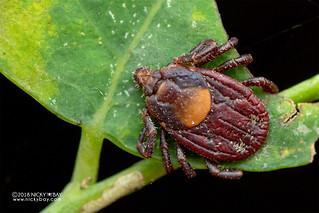 Tick (Ixodidae) - DSC_2688