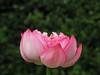 Photo:Lotus flower 'Makotobasu' (ハス '誠蓮') By Greg Peterson in Japan